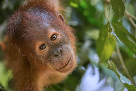 Sumatran Orangutan Society – SOS