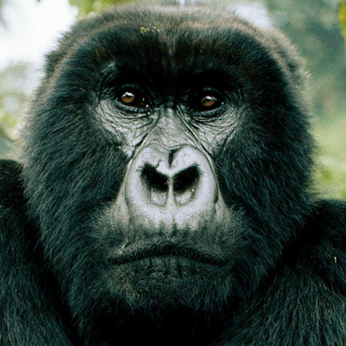 Spotlight: Mountain Gorilla