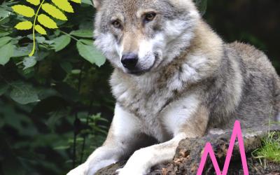 Spotlight: Wolves