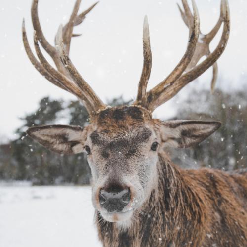Spotlight: Reindeer