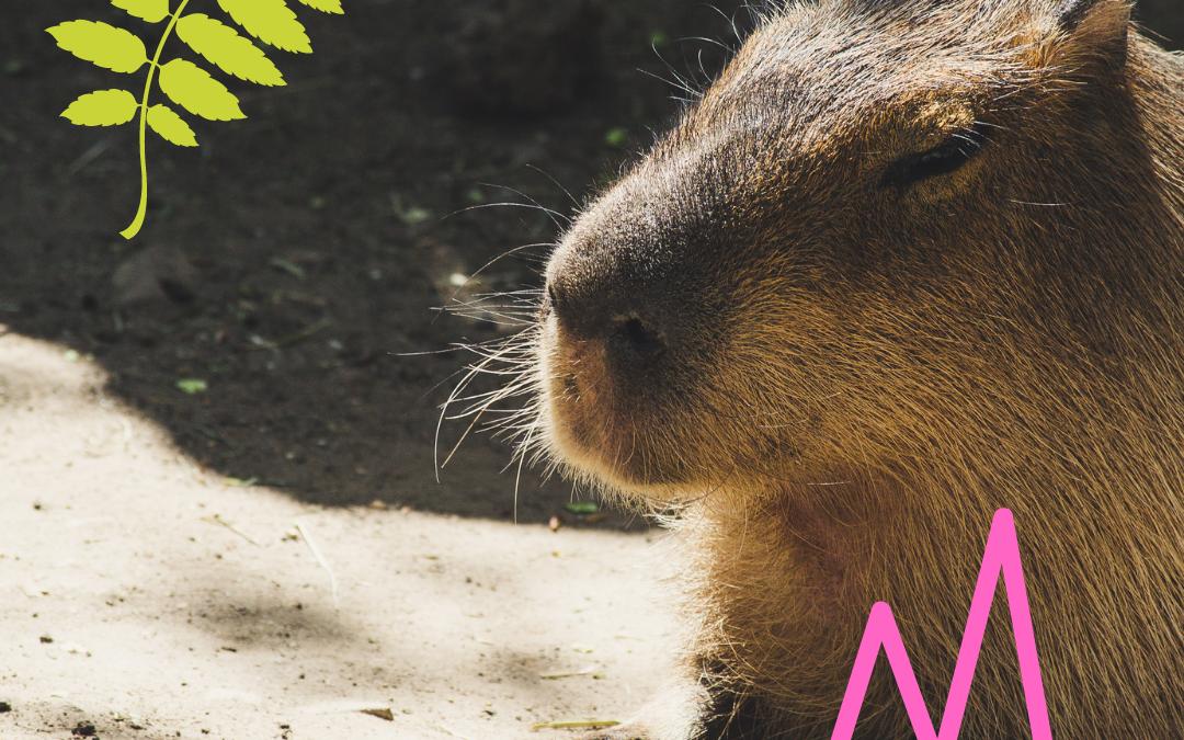 Spotlight: Capybara